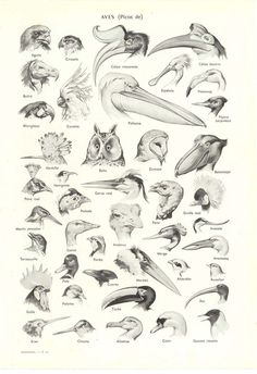 Vintage Print Birds 55 Years Old Lithograph Larousse France Natural History Illustration by Adolphe Millot