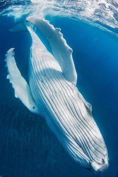 Diving & Photography · · Giant (Humpback whale) By: Noam Kortler mammals Water Animals, Ocean Creatures, Blue Whale, Humpback Whale, Underwater World, Sea World, Ocean Life, Marine Life, Marine Biology