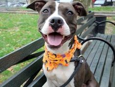 My name is BALBOA. My Animal ID # is A0980758. I am a female gray and white pit bull mix. The shelter thinks I am about 2 YEARS old.