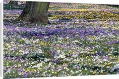 Canvas Prints of Crocus - mass in spring time from Ardea Wildlife Pets $64.95