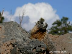 The yellow-bellied marmot (Marmota flaviventris), also known as the rock chuck, is a ground squirrel in the marmot genus.It inhabits steppes, meadows, talus fields and other open habitats, sometimes on the edge of deciduous or coniferous forests, and typically above 6,500 feet (2,000 m) of elevation.Their territory is about 4 to 7 acres (2 to 3 ha) around a number of summer burrows.