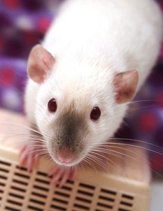 Simese rat . Want one!