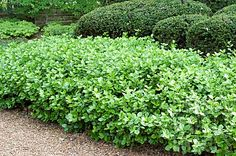 Euonymus 'manhattan'• Glossy, deep-green leaves are attractive year-round • Very fast-growing, tough and hardy • Makes a great hedge or medium screen; Perfect for around heat pumps and cable boxes • Full Sun to Part Sun • 5' tall by 4' wide • Evergreen