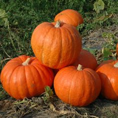 Harris Seeds is a well-known for the highest quality seeds for growing pumpkins! Standard big pumpkins, powdery mildew protected pumpkins, small and mini. Large Pumpkin, Pumpkin Farm, Pumpkin Carving, Types Of Pumpkins, Pumpkin Patch Pictures, Biggest Pumpkin, Red Orange Color, Planting Plan, Hot Apple Cider