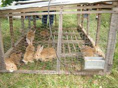 Meat rabbits.