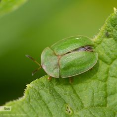Thistle Tortoise Beetle by Monique van Someren on 500px