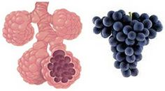 Hrozny se podobají plicním sklípkům v plicích. Plicní sklípky umožňují kyslíku projít z plic do krevního oběhu. Strava s vysokým obsahem hroznů se prokázala jako preventivní proti rakovině plic! Semínka hroznů také obsahují látku zvanou proanthocyanidin, která může snížit následky astmatu v důsledku alergie