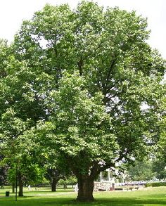 So this White Ash Tree is one of the trees I'd like to plant in our backyard for shade. Plant with White Elderberry shrub which also attracts Birds. White Ash Tree, Elderberry Shrub, Tree Id, How To Attract Birds, Shade Trees, Garden Trees, Trees And Shrubs, Outdoor Projects, Habitats