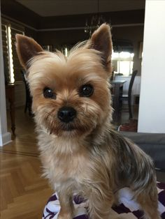 Kenie - Yorkie Look at that face ❤️