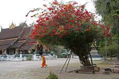 Laos is probably the most wonderful country I've visited, especially Luang Prapang along the Mekong River. The small town is full of buddist temples and monasteries like here where two young monks walk across the temple yard bypassing a beautiful bouganvillea. Peace, friendliness, good food and beautiful nature. What would you want more?