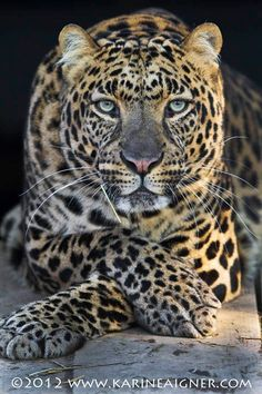 """""""China"""" - Asian leopard.  Adopted from private breeder, producing for the pet trade, in 2001."""