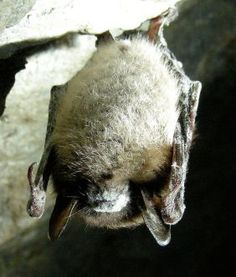 Little_Brown_Bat_with_White_Nose_Syndrome_(Greeley_Mine,_cropped)