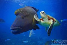 High 5! Sea turtle with humphead Wrasse.
