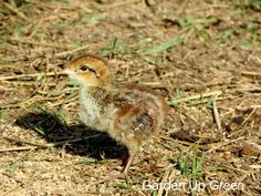 Learn how this homesteader hatched bobwhite quail in captivity by letting nature inspire. Backyard Chicken Coops, Chickens Backyard, Raising Quail, Chicken Feeders, Quails, Chicken Tractors, Worm Composting, Game Birds, Annual Plants