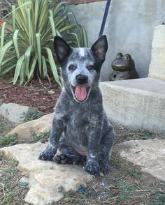 Some Helpful Ideas For Training Your Dog – One Boutique Cute Little Puppies, Cute Puppies, Cute Dogs, Dogs And Puppies, Doggies, Australian Cattle Dog Puppy, Austrailian Cattle Dog, Animals And Pets, Cute Animals