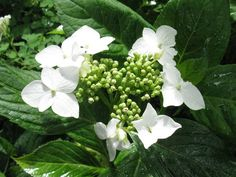 Hydrangea macrophylla 'Lannarth White'