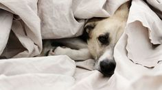 """Bill Barol lets his pets sleep on his bed. His two Labradors. TWO. LABRADORS. Mr. Barol is the first to admit that this is nuts — the dogs ruin a good night's sleep for him and his wife, who miserably cling to the edges of their king-size bed. He also admits that he loves it, despite the misery and sleep deprivation involved. Mr. Barol, who wrote a lovely caper novel, """"Thanks for Killing Me,"""" gives us an exploration of our relationships with our pets and our sleep cycles that amuses and…"""