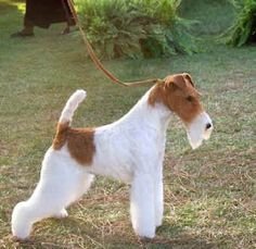 Wire Fox Terrier  MBIS MBISS WW'11 GCh AfterAll Painting The Sky