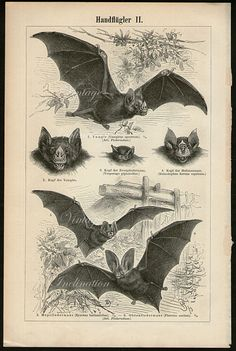 Antique Print, BATS Chart II1894 vampire bat, beautiful wall art vintage b/w engraving illustration animals