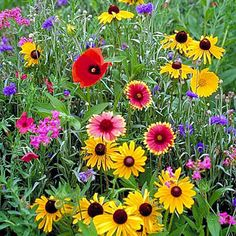 Northeast Wildflower Seed Mix - 2 lb. Bag Northeast Wildflower Seed Mix - $46.50 : Hancock Farm & Seed Company - Lawn, Pasture and Turf Grass Seed