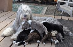 There are many interesting Bearded Collie Facts about this herding breed. Bearded Collie Puppies, Dogs And Puppies, Doggies, Tibetan Terrier, Pet Breeds, Matou, Dog List, Purebred Dogs, Old English Sheepdog