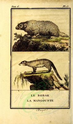 Bobak (Fr), Mangoose (Fr) - high resolution image from old book. Old Book Pages, Art Clipart, Picture Collection, Scrapbook Paper Crafts, Beautiful Paintings, Wall Collage, Mammals, Pet Supplies, Toms