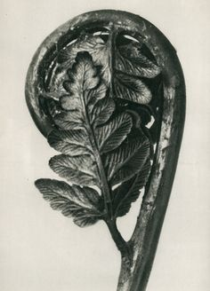 Karl Blossfeldt biography - An artist, teacher, sculptor and photographer from Germany, Karl Blossfeldt - worked in Berlin till the age of He was inspired by nature Karl Blossfeldt, Natural Forms Gcse, Natural Form Art, Botanical Illustration, Botanical Prints, Botanical Drawings, Contemporary Abstract Art, Abstract Landscape, Hanging Art