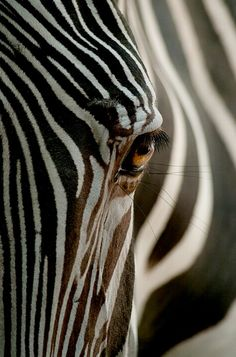 "WHY IS THE ZEBRA OUR MASCOT? In medical school, doctors are taught ""when hearing hoofbeats, think horses, not zebras."" Carcinoid Cancer & Neuroendocrine Tumors has been thought of as 'rare'and therefore may be considered a zebra. Nature Animals, Animals And Pets, Wild Animals, Safari Animals, Beautiful Creatures, Animals Beautiful, Regard Animal, Vida Animal, Photo Animaliere"