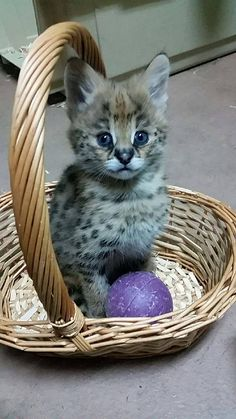 """Zuberi is a two-month-old Serval kitten whose name means """"strength"""" in Swahili. The small one (with the big ears) was born December 9 at Capron Park Zoo in Attleboro, Massachusetts, to mom Summer and dad Sav. Check out ZooBorns to learn more and see more!   http://www.zooborns.com/zooborns/2016/02/meet-capron-park-zoos-new-serval-kitten.html"""