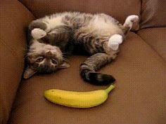 Medo da banana | Onde Meu Gato Senta