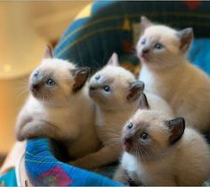 Just some amazing Siamese kittens