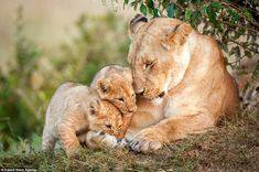 Two cubs in particular, a male and a female, vied for their mother's attention. Both were around eight weeks old and after play was over things calmed down a bit in the family #BigCatFamily