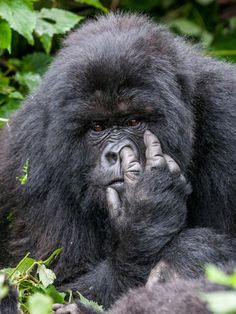 What do GORILLAS have big noses? Because they have big fingers.