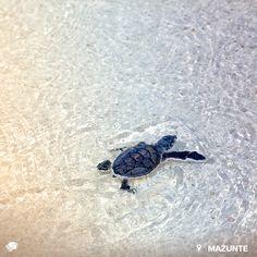 Mazunte, Oaxaca. México Si viajas a Mazunte durante los meses de agosto a diciembre, aproximadamente, puedes observar cómo las tortugas recién nacidas usan sus aletas en su carrera hacia el mar. ¡Liberar tortugas es una experiencia que te llenará de emoción y alegría y más si lo haces con tu pareja!