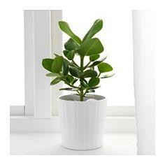 IKEA - CLUSIA, Potplant