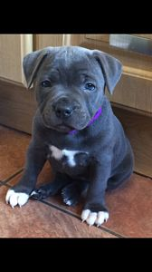 Staffordshire English Bull Terrier Puppies in Woombye