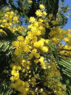 Bormes les Mimosas, Provence at its best this time of the year Le Mimosa, Mimosas, Time Of The Year, Provence, Plants, Travel, Flowers, Plant, Aix En Provence