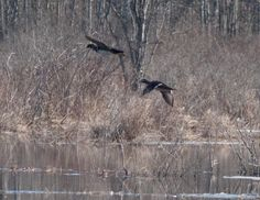 Ducks in Maine #silvertonsportingranch #maineduckhunting