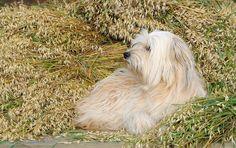 Pyrenean Shepherd Dog Photos, Dog Pictures, Tu Me Manques, Terrier Mix, Savage, Wild Flowers, Doggies, Dog Cat, Future