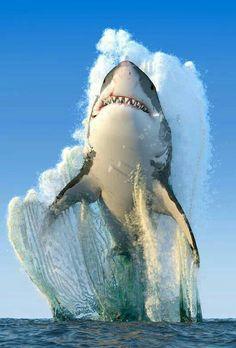 Tubarão-branco (mares frios do Atlântico e Pacífico sul).