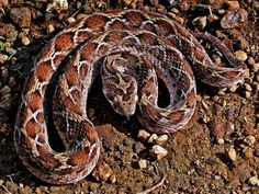 Reptiles, Mammals, Indian Cobra, Asiatic Lion, Indian Wolf, Indian Animals, Wildlife Of India, Monitor Lizard, Pit Viper