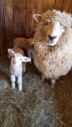 """""""New this week at Ross Farm: Twin lambs! - """"New this week at Ross Farm: Twin lambs! """"New this week at Ross Farm: Twin lambs! Cute Sheep, Sheep Farm, Sheep And Lamb, Baby Sheep, Cute Baby Animals, Animals And Pets, Funny Animals, Farm Animals, Beautiful Creatures"""
