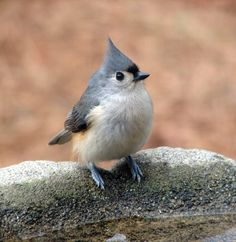 "Tufted Titmouse, cutie bird!  ""The titmice are the most vocal of birds, streaming a continual jumble of sound.  Each titmouse jabs high-pitched seet notes, creating an irregular beat against which play their other calls, hoarse whistles and squeaks.""-David Haskell"