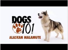 All About The Alaskan Malamute-For those looking to get one of these magnificent dogs Click on the photo to watch this video...