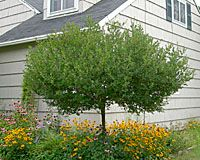 """Meanwhile, Bailey Nurseries of St. Paul, MN continues to release additions to its """"Fairytale"""" series of """"dwarf"""" lilacs. Resulting from crosses between the `Dwarf Korean' and littleleaf lilacs described above, this group includes the increasingly common `Tinkerbelle' (dark pink), as well as `Fairy Dust' (pale pink), `Sugar Plum Fairy' (light lavender), and `Prince Charming' (lavender-pink)."""
