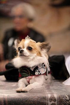 Chihuahua by ccho, via Flickr