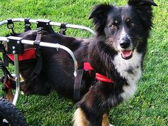 This Border Collie, Kiri, got her chair after being hit by a car when she was five. She seems to enjoy her mobility - but the same can't be said for the sheep she sometimes chases.    Credit: Pets with Disabilities