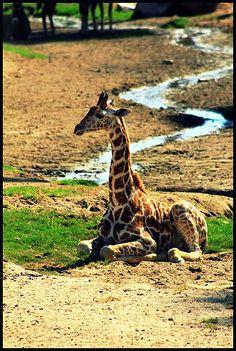 Enjoying some sunshine! Giraffe at the San Diego Zoo Safari Park