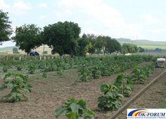 Vand butasi lemnificati Paulownia pentru infiintare de plantatie.   Ok-forum.ro - Anunturi gratuite de mica publicitate in Romania.   Plante - Gradina   Baia Mare   Maramures   Romania