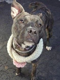 """Manhattan Center   SAM aka XANADU - A1004466  *** RETURNED ON 2/24/15 - """"MOVING"""" ***  SPAYED FEMALE, BL BRINDLE / WHITE, STAFFORDSHIRE / AM PIT BULL TER, 1 yr, 8 mos OWNER SUR - EVALUATE, HOLD FOR ID Reason MOVE2PRIVA  Intake condition EXAM REQ Intake Date 02/24/2015,  https://www.facebook.com/photo.php?fbid=969441389735407"""